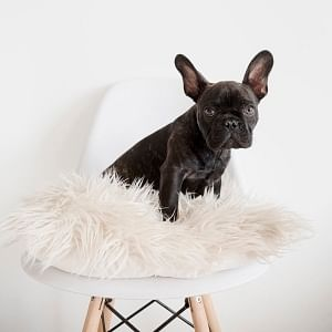 Black dog on Aria chair